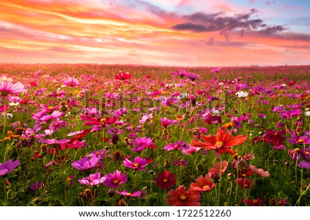 Beautiful and amazing of cosmos flower field landscape in sunset. nature wallpaper  background. Royalty-Free Stock Photo #1722512260