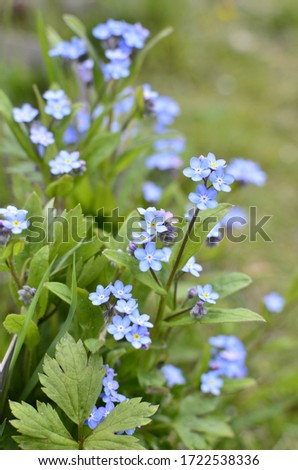 Myosotis flower. Background horizontal close-up macro shot. Natural nature background with blooming beautiful blue flowers.Screensaver, background for phone