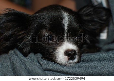 A Picture of a black and white tinny Chihuahua