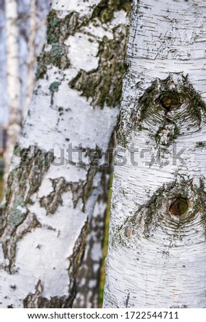 Young birches with black and white birch bark in spring in birch grove against the background of other birches, Trunk of an old birch close-up #1722544711