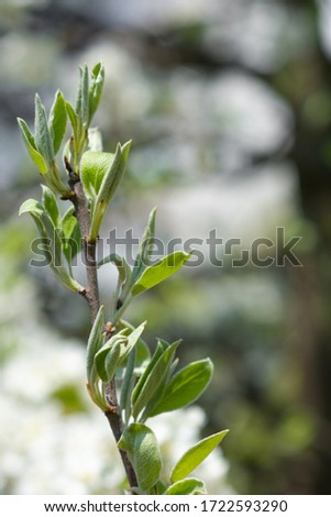 Flowerscape of branches in spring, in the garden of flowering apple trees #1722593290