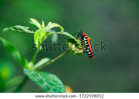 Close up picture of Red cotton bug (Dysdercus cingulatus) with green grass background