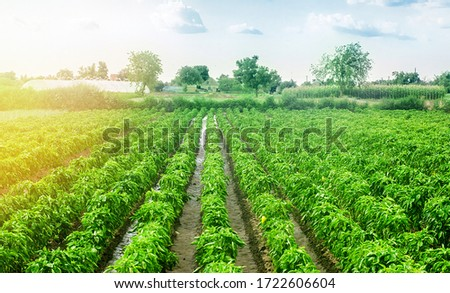 Paprika pepper plantation field after rain. Agriculture, farming. Growing vegetables in the agricultural industry. Organic food products. Farmland. Fresh green greens. Plant growing, agronomy. #1722606604