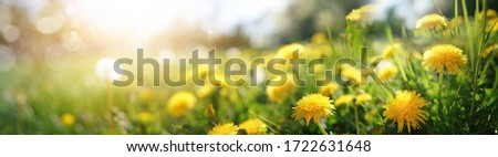Many yellow dandelion flowers on meadow in nature in summer close-up macro in rays of sunlight at sunset sunrise. Bright summer landscape panorama, colorful artistic image, ultra wide banner format. Royalty-Free Stock Photo #1722631648