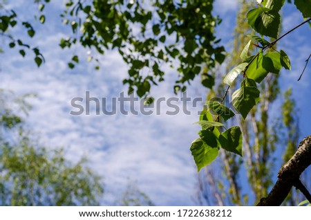 Birch branches with new leaves on a background of blue sky. Spring birch branches in a city park. Close-up. Selective focus. #1722638212