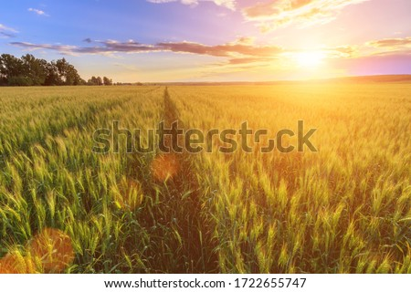 Scene of sunset or sunrise on the field with young rye or wheat in the summer with a cloudy sky background. Landscape. #1722655747