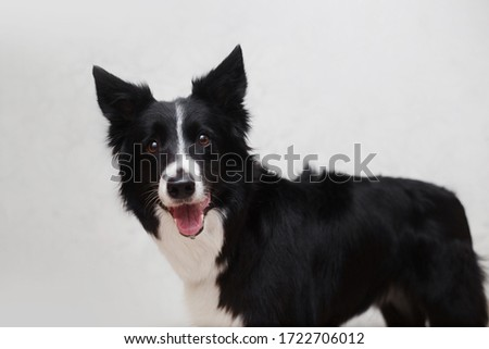 Portrait of border collie dog on white backgroung #1722706012