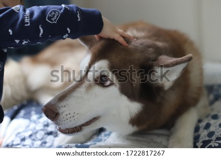 baby plays with a dog of the Siberian Husky breed #1722817267