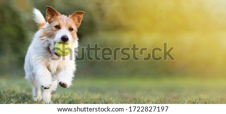 Playful happy pet dog puppy running in the grass and playing with a tennis ball. Web banner with copy space. #1722827197