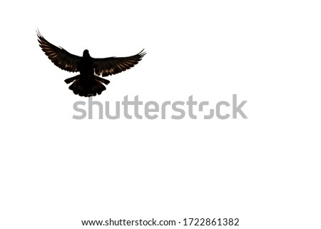 An isolated image with white background of a flying dove in the air. The picture of a flying dove is a symbol of freedom.