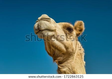 Camel Head Closeup Portrait in Desert. #1722863125