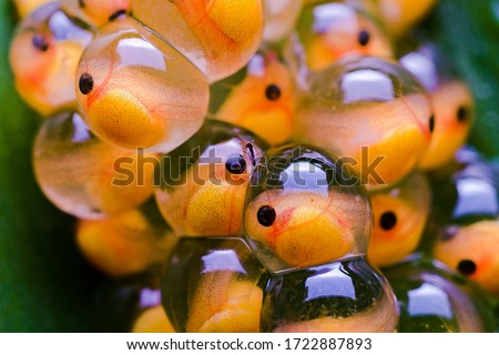 A closeup macro pic of tomato frog eggs with embryos developing inside it.