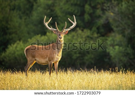 Sunlit red deer, cervus elaphus, stag with new antlers growing facing camera in summer nature. Alert herbivore from side view with copy space. Wild animal with brown fur observing on hay field. #1722903079