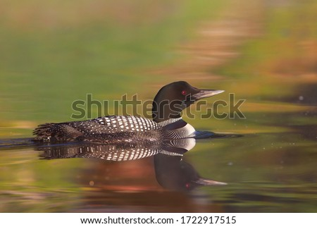 Common Loon (Gavia immer) swimming on a reflective coloured lake in Ontario, Canada