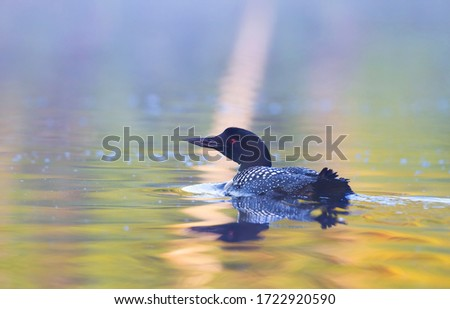Common Loon (Gavia immer) swimming on a reflective colourful lake in Ontario, Canada