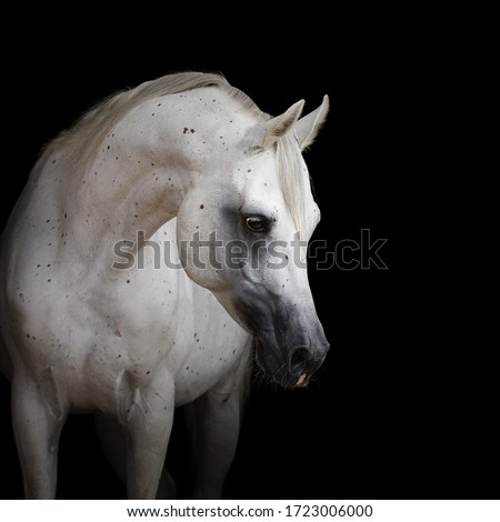 Portrait of a beautiful white arabian horse with long mane on black background isolated Royalty-Free Stock Photo #1723006000