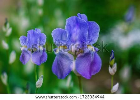 Closeup iris flower outdoors, blue iris flower in the garden