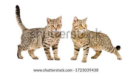 Two cats Scottish Straight standing together isolated on white background Royalty-Free Stock Photo #1723039438