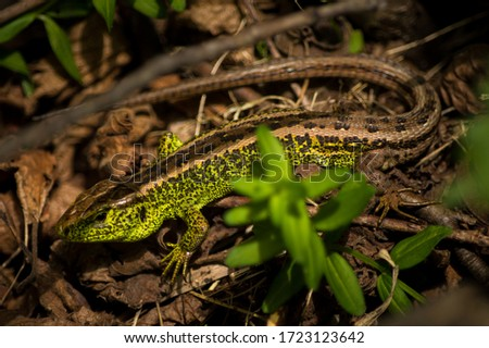Green lizard. This photo was taken in the mountains of eastern Europe. The photo shows a lizard. Lizards belong to the family of reptiles. They are very similar to snakes.