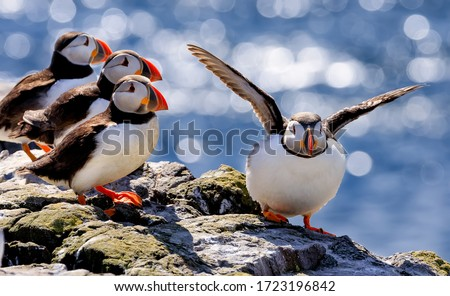 The flock of Atlantic puffins are standing on a cliff under sunlight. Farne Islands, Northumberland England, North Sea. UK Royalty-Free Stock Photo #1723196842