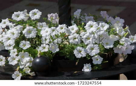 Petunia is one of the flowering plants of South American origin. This is the name of the French national name, the word petun, which means tobacco, from the language of Tupi - Guarani. #1723247554