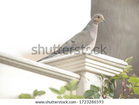 picture of a dove or a pigeon