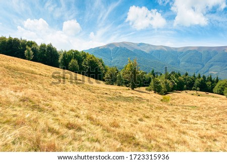 yellow grass on the meadow in mountains. beautiful nature landscape beneath a blue sky with fluffy clouds at high noon.