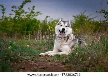The dog is lying on the grass. Portrait of a Siberian Husky. Close-up. Resting with a dog in nature. Landscape with a river. Royalty-Free Stock Photo #1723636711