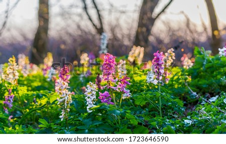 Scenic magical spring forest background of violet and white hollow-root Corydalis cava early spring wild flowers in bloom.