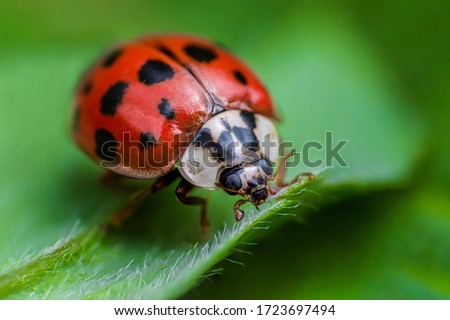 Ladybug with black eyes in macro. Super macro photo of insects and bugs. Ladybug on green leaf. Royalty-Free Stock Photo #1723697494