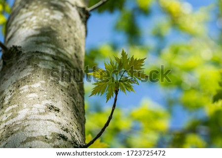 Maple Acer saccharinum with new green leaves against blue sky. Young bright foliage on Acer saccharinum in sunny spring day. Nature concept for any design. Soft selective focus. Place for your text #1723725472