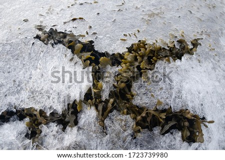 Macro picture of seaweed which is breaking through a freezing sea. Picture taken in very cold morning in the Lofoten Islands archipelago . Miniature of hoarfrost crystals .