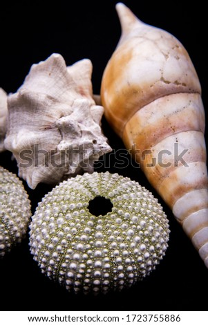 Three different types of seashells in one picture, horse conch, urchin and king's crown.