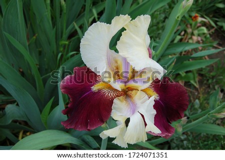 Iris is delicate and elegant with light upper petals and bardic lower ones