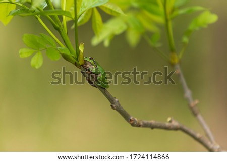 Hyla arborea - Green Tree Frog on a branch and on a reed by a pond. Tree frog in its natural habitat.  Wild photo. #1724114866