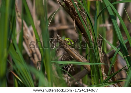 Hyla arborea - Green Tree Frog on a branch and on a reed by a pond. Tree frog in its natural habitat.  Wild photo. #1724114869
