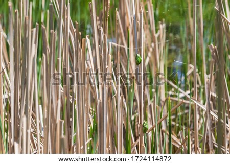 Hyla arborea - Green Tree Frog on a branch and on a reed by a pond. Tree frog in its natural habitat.  Wild photo. #1724114872