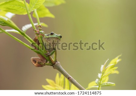 Hyla arborea - Green Tree Frog on a branch and on a reed by a pond. Tree frog in its natural habitat.  Wild photo. #1724114875