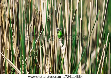 Hyla arborea - Green Tree Frog on a branch and on a reed by a pond. Tree frog in its natural habitat.  Wild photo. #1724114884