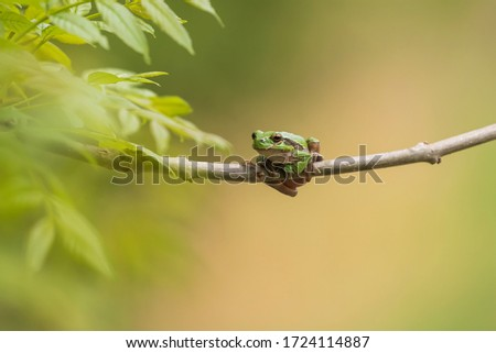 Hyla arborea - Green Tree Frog on a branch and on a reed by a pond. Tree frog in its natural habitat.  Wild photo. #1724114887