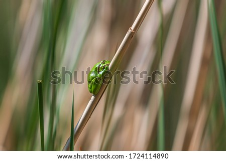 Hyla arborea - Green Tree Frog on a branch and on a reed by a pond. Tree frog in its natural habitat.  Wild photo. #1724114890
