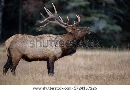 Bull Elk in Banff Canada  Royalty-Free Stock Photo #1724157226