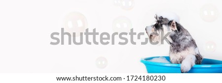 Funny Schnauzer puppy Dog taking bath with shampoo and bubbles in blue bathtub . Banner for pet shop, grooming salon.  #1724180230
