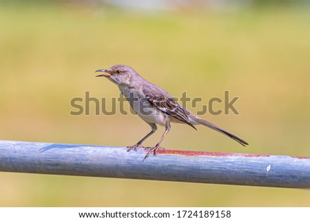 The northern mockingbird is the only mockingbird commonly found in North America. This bird is mainly a permanent resident, but northern birds may move south during harsh weather.