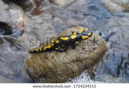 A black and yellow-spotted lizard sits on a stone in the middle of the water. Salamander.