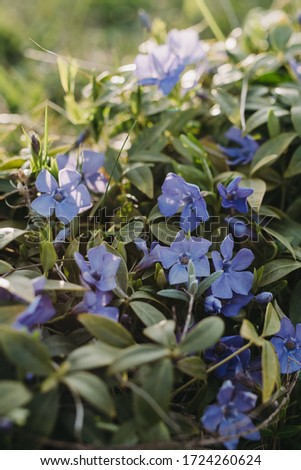 Beautiful blue spring myosotis ( Boraginaceae family ) flowers with green leaves under sunlight in the garden on blurred natural background at spring or summer season. Outdoor garden flowers. Close up #1724260624