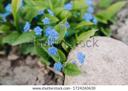 Beautiful blue spring myosotis ( Boraginaceae family ) flowers with green leaves under sunlight in the garden on blurred natural background at spring or summer season. Outdoor garden flowers. Close up #1724260630