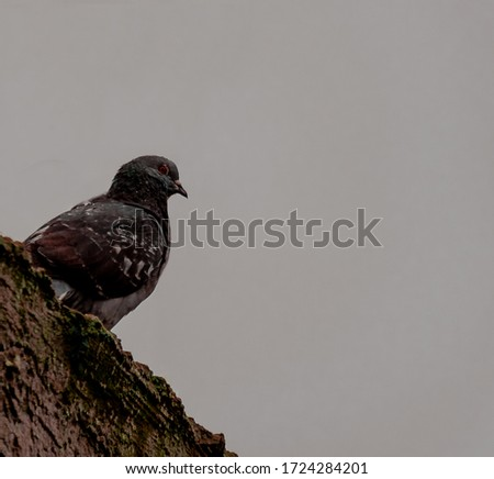 Picture of gray dove with white background