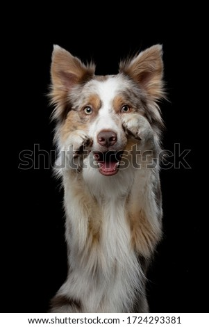 the dog waves paws. Funny border collie on a black background in the studio
