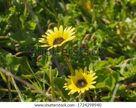 Arctotheca Calendula or creeping Capeweed yellow daisy-like flowers close up. Plain treasure, cape dandelion or cape marigold ornamental groundcover flowering plant in the sunflower family, Asteraceae #1724298940